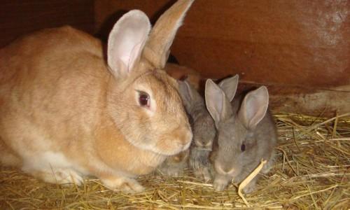 Домашние кролики