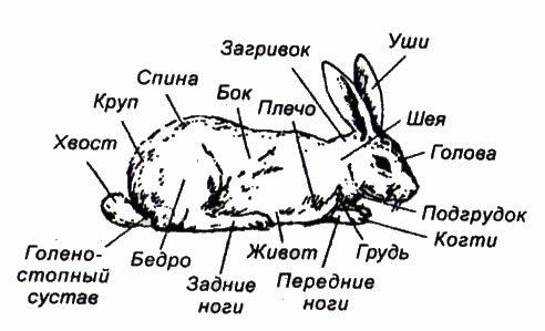 себя строение кролика картинках пальце